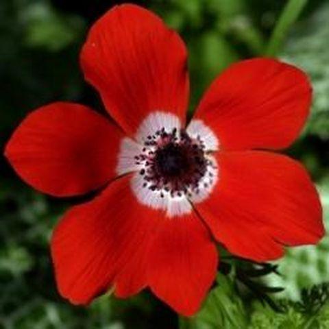 http://topremedesnaturels.free.fr/photos-guerir-medecine-douce-2/slides/remedes-plantes-medicinales-fleur-rouge-10035.jpg